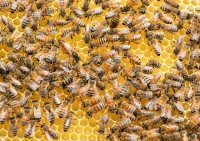 Bees Control Service Adelaide
